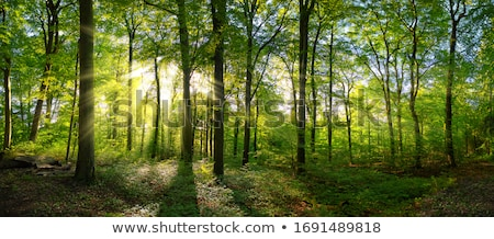 Spring in the deciduous forest Stock photo © olandsfokus