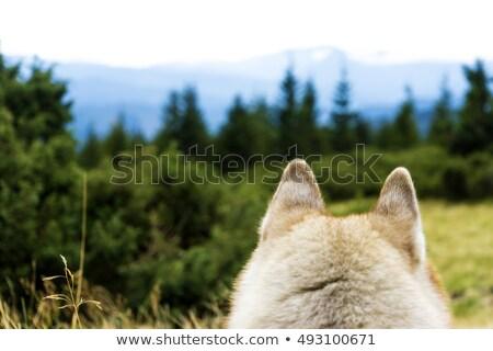 Husky kutya néz hegyek nyár égbolt Stock fotó © RuslanOmega