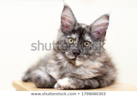 Cute Maine alleen medische kantoor kat Stockfoto © wavebreak_media