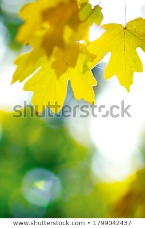 秋 黄色 ツリー 青空 木材 太陽 ストックフォト © Mikko