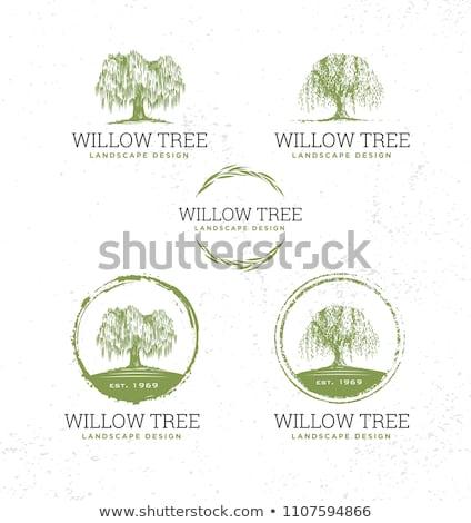 weeping willow tree stock photo © njnightsky