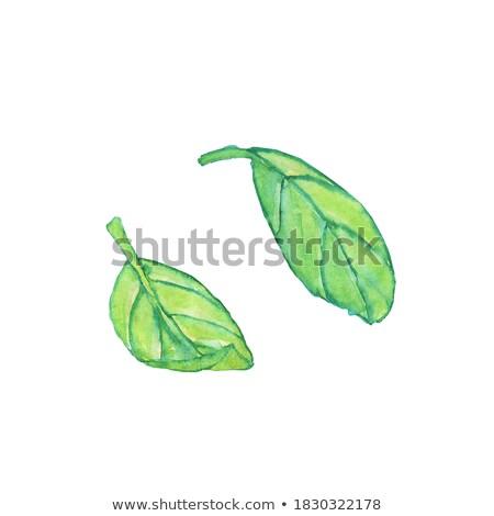 Dos verde lila hojas aislado blanco Foto stock © vapi