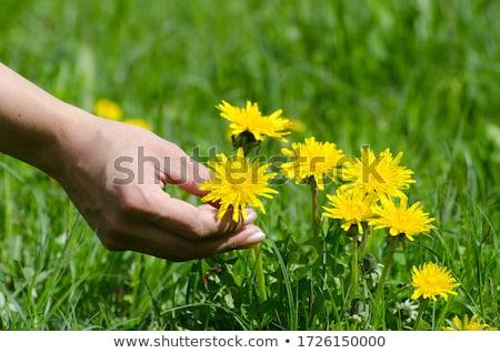 Geel paardebloemen voorjaar tuin heldere bloemen Stockfoto © hraska