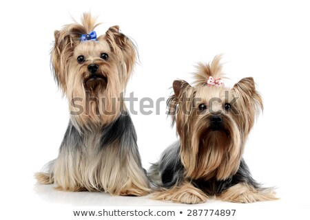Stock photo: two sweet yorkshire terriers relaxing in a wehite studio