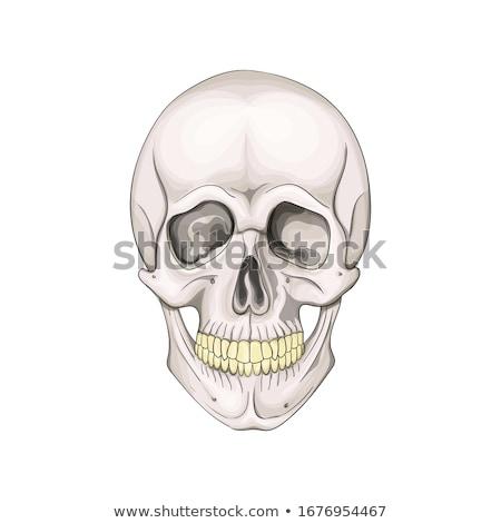 Cráneo huesos simple ilustración humanos aislado Foto stock © romvo