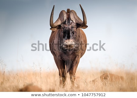 Black Wildebeest Stock photo © zambezi
