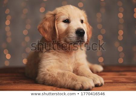 Aanbiddelijk labrador retriever puppy hond kant Stockfoto © feedough