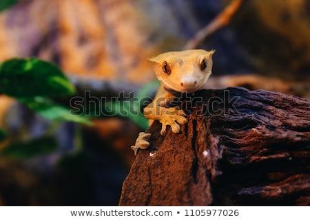 Gekko studio witte lopen dier hagedis Stockfoto © cynoclub