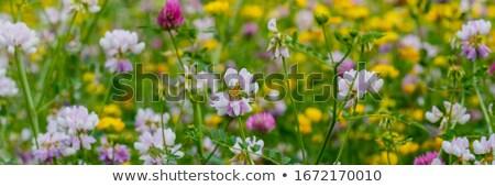Szalag vad virágok sok izolált fehér Stock fotó © ivonnewierink