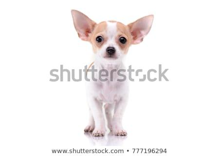 Stock fotó: Kutyakölyök · stúdiófelvétel · izolált · fehér · kutya · boldog
