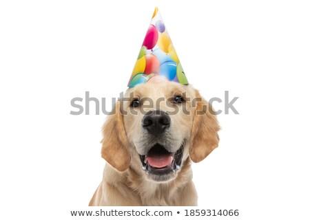 Közelkép aranyos születésnap golden retriever zihálás áll Stock fotó © feedough