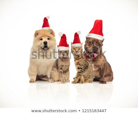 Natale · cani · francese · english · bulldog · indossare - foto d'archivio © feedough