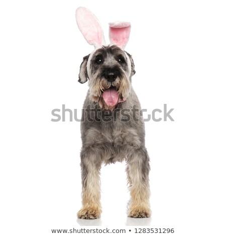 Adorabile Pasqua coniglio schnauzer pants piedi Foto d'archivio © feedough