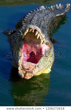 crocodile at the swamp stock photo © bluering