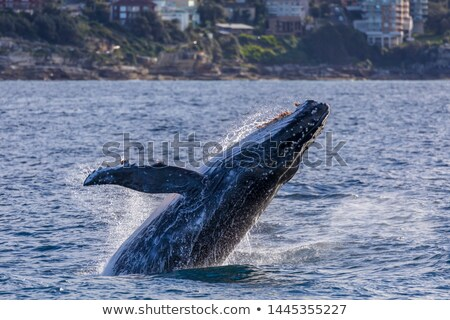 whales migrating off the coast of sydney australia stock photo © lovleah