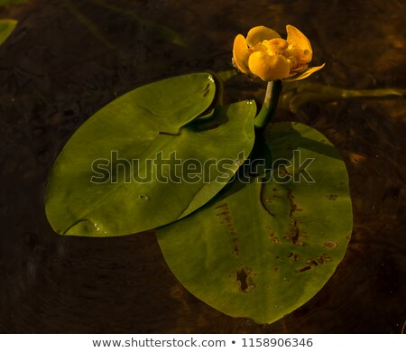 Green leaves and yellow flowers of the water lily are swaying on the splash of water in the river. 4 Stock photo © artjazz