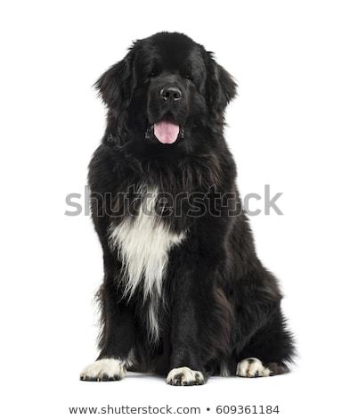 ニューファンドランド島 犬 白 スタジオ 白地 ストックフォト © eriklam