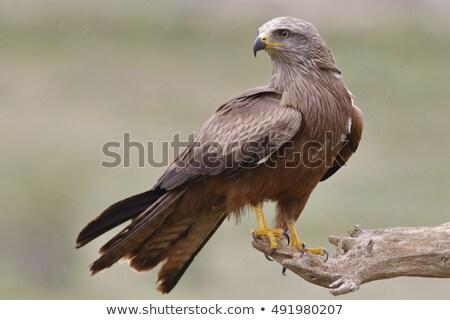 Black Kite Stock photo © suerob