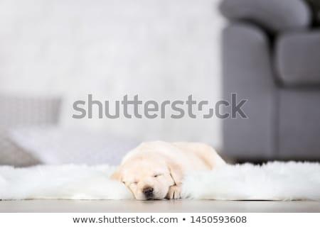 vue · de · côté · cute · noir · labrador · retriever · dormir · blanche - photo stock © feedough