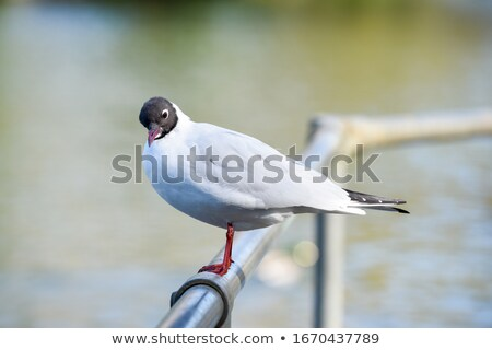 A seagull with an inquisitive look. Stock photo © latent