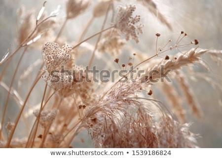 dry grass Stock photo © pinkblue