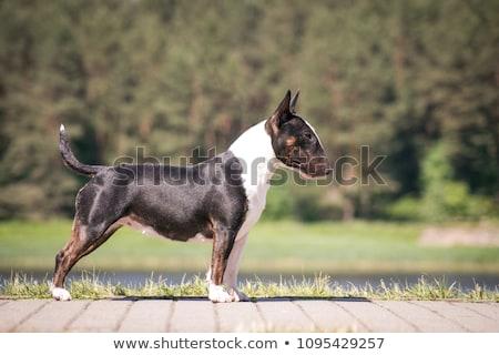 Noir Bull terrier Photo stock © arturasker