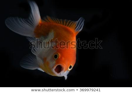 Funny goldfish with big eyes Stock photo © jarenwicklund