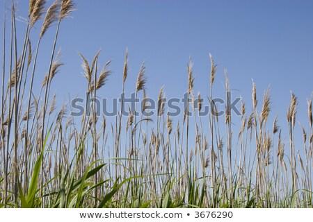 Sea Oats in Coastal Marsh Stock photo © dbvirago
