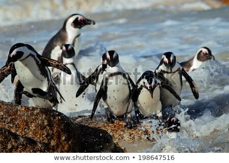 Jackass Penguins on the rocks Stock photo © Forgiss