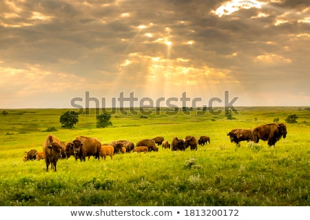 ヨーロッパの · バイソン · 食べ · 頭 · 動物 - ストックフォト © ajt