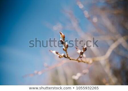 Eerste voorjaar zacht macro geïsoleerd Stockfoto © vavlt