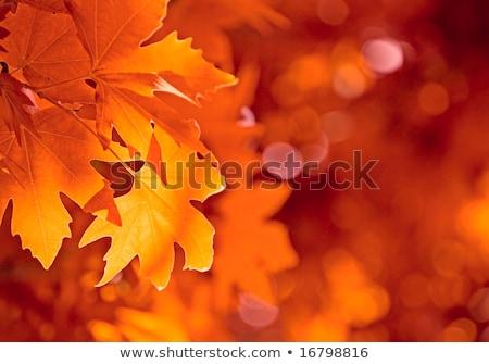 autumn leaves very shallow focus stock photo © beholdereye
