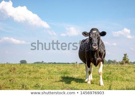 big blade of grass under blue sky Stock photo © meinzahn