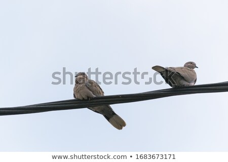 Stock fotó: Pigeons On A Wire