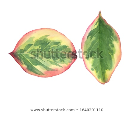 green leaf of rubber plant stock photo © bdspn