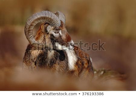 mouflon ram portrait Stock photo © taviphoto