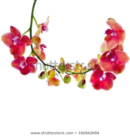 turuncu · orkide · şube · taze · çiçekler · pot - stok fotoğraf © neirfy
