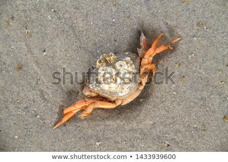 Mort crab plajă nisip animal Imagine de stoc © ivonnewierink