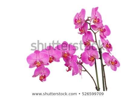 White orchid with purple veins Stock photo © slunicko