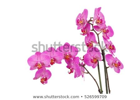 白 蘭 紫色 静脈 葉 背景 ストックフォト © slunicko
