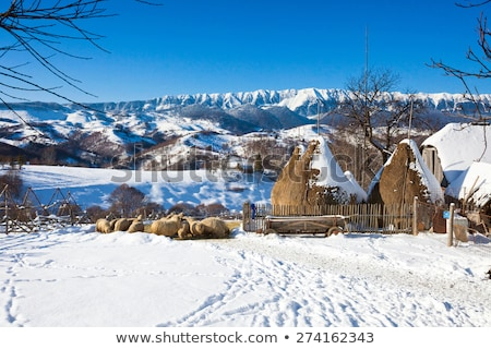 typical winter scenic view with haystacks and sheeps stock photo © pixachi