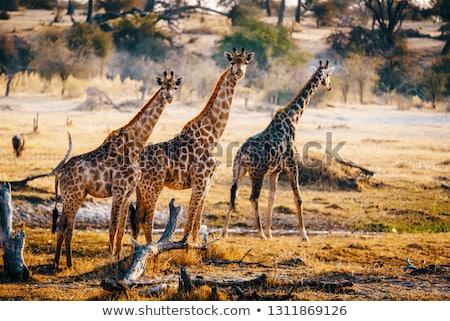 жираф Ботсвана резерв южный Африка семьи Сток-фото © romitasromala