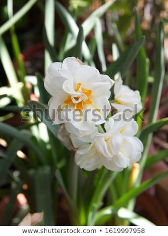 Daffodil Sir Winston Churchill  Stock photo © LianeM