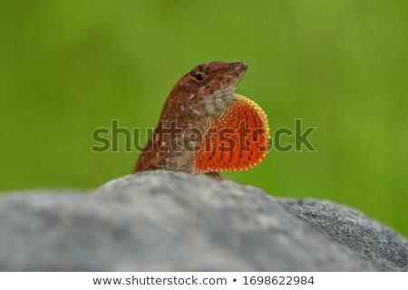 Kertenkele güneş yüz bahçe hayvan çevre Stok fotoğraf © njaj