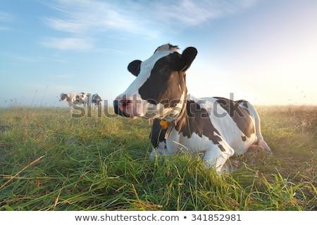 Relaxed cow Stock photo © creisinger