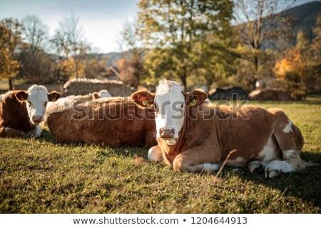 vacche · prato · foresta · campo · verde - foto d'archivio © phbcz