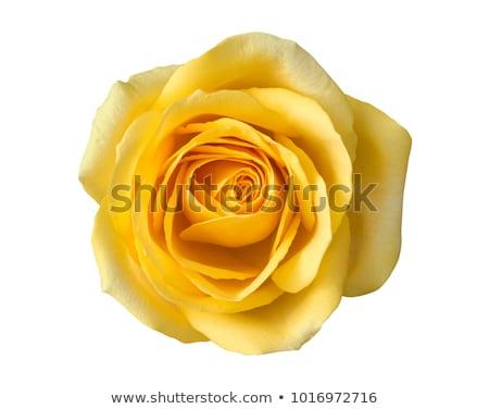 um · amarelo · folha · isolado · branco - foto stock © tetkoren