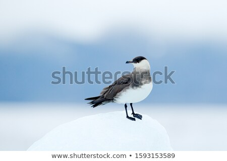 Birds in arctic tundra, Svalbard, Norway Stock photo © dinozzaver