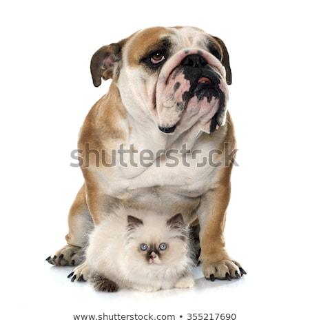 puppy · Engels · bulldog · kitten · witte · kat - stockfoto © cynoclub