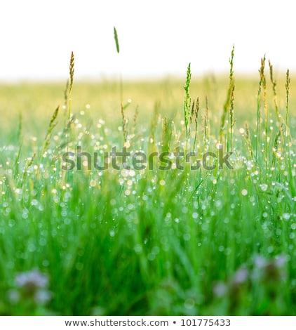 Grama verde manhã cedo luz verde grama luz Foto stock © zurijeta